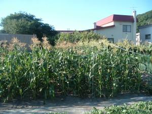 Corn_004