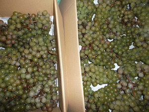 Grape_004